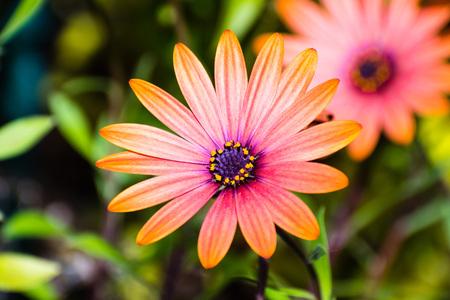 Close up of Orange African Daisy (Osteospermum) Stok Fotoğraf