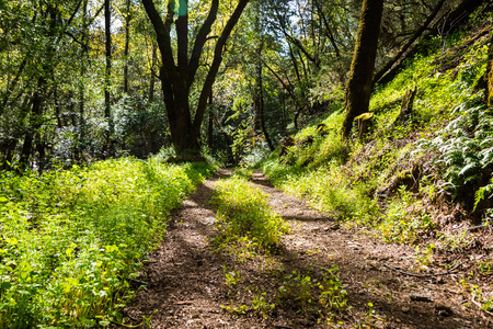 Walking trail through the forests of Uvas Canyon County Park, green Miners Lettuce covering the ground, Santa Clara county, California