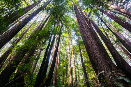 Redwood trees (Sequoia Sempervirens) in the forests of Henry Cowell State Park, Santa Cruz mountains, San Francisco bay area Banco de Imagens