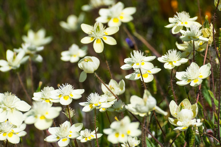 Cream Cups (Platystemon californicus) wildflowers, south San Francisco bay area, Santa Clara county, California