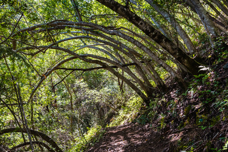 Hiking trail lined up with Bay Laurel trees (Californica Umbellularia), Uvas Canyon County Park, Santa Clara county, California