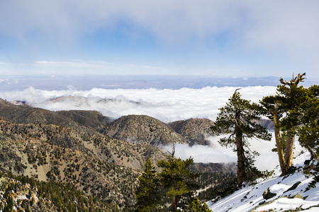 Evergreen trees high on the mountain; sea of white clouds in the background covering the valley, Mount San Antonio (Mt Baldy), Los Angeles county, California
