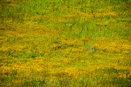 Goldfield wildflowers blooming on serpentine soil in south San Francisco bay area, Santa Clara county, California; background for spring season Stock Photo