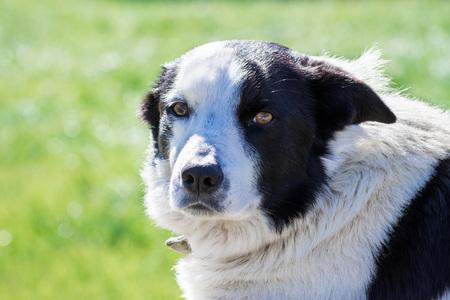 Close up of English Shepherd dog, San Francisco bay area, California; black and white photo