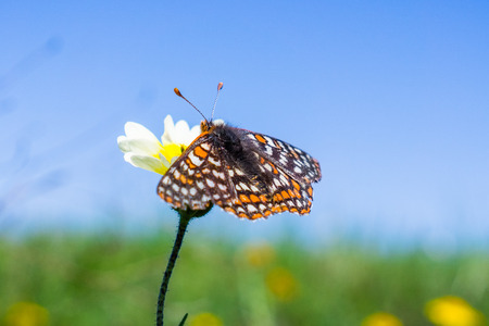 Bay Checkerspot butterfly (Euphydryas editha bayensis) on a tidytips (Layia platyglossa) wildflower; classified as a federally threatened species, south San Francisco Bay area, San Jose, California