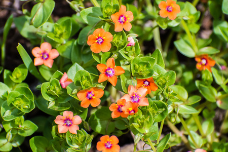 Scarlet pimpernel (Anagallis arvensis), native to Europe and Western and North Africa, Santa Clara county, south San Francisco bay area, California