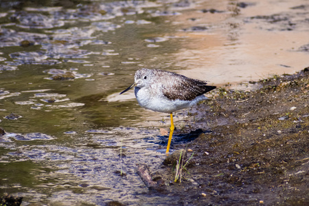 Greater Yellowlegs (Tringa melanoleuca) looking for food on the shallow and muddy water of Barker Dam, Joshua Tree National Park, south California