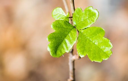 Shiny Pacific Poison oak (Toxicodendron diversilobum) leaves, California