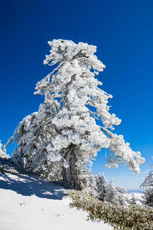 Pine trees covered in frozen snow on a sunny but cold day; Mount San Antonio (Mt Baldy), Los Angeles county, California