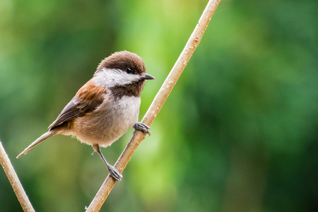 Close up of Chestnut backed Chickadee (Poecile rufescens); blurred green background, San Francisco bay area, California Banco de Imagens