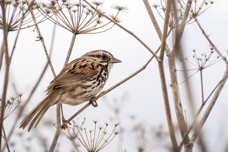 Close up of Song sparrow (Melospiza melodia) perched on a dry fennel plant, white background; San Francisco bay area, California