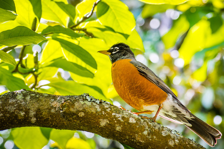 American Robin (Turdus migratorius) perched on a branch; verdant foliage in the background; San Francisco bay area, California Banque d'images