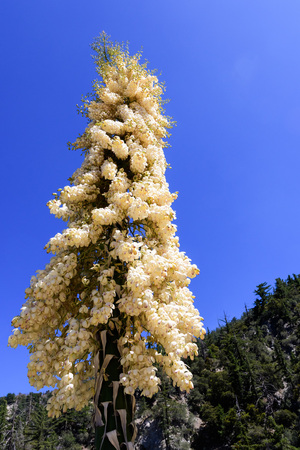 Chaparral Yucca (Hesperoyucca whipplei) blooming in the mountains, Angeles National Forest; Los Angeles county, California Stock Photo