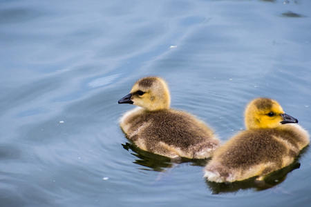 Two Canada Goslings (Branta canadensis) swimming on a lake, Golden Gate Park, San Francisco, California
