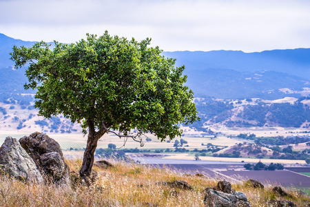 Young live oak tree growing on the hills of south San Francisco bay area; Coyote valley in the background; San Jose, California