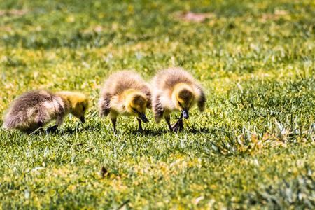 Canada Goose (Branta canadensis) new born chicks eating grass on a green meadow, San Francisco bay area, California Фото со стока