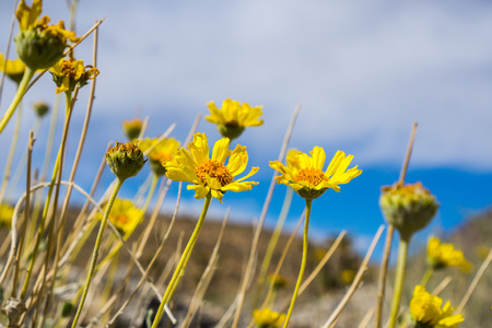 Naked-stemmed Daisy (Enceliopsis nudicaulis) blooming in Death Valley National Park, California Stock Photo