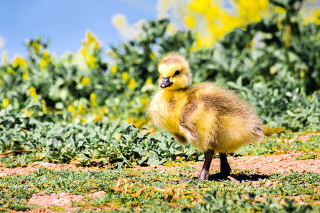 Canada Goose (Branta canadensis) new born chick posing on a meadow; green plants, yellow flowers and the blue surface of a lake in the background, San Francisco bay area, California Фото со стока