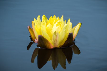 Close up of yellow water lily reflected in the dark blue calm water of a pond Imagens