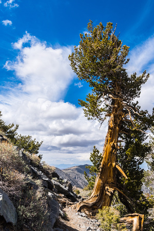 Bristlecone pine (Pinus longaeva) on the trail to Telescope Peak, Panamint Mountain Range, Death Valley National Park, California