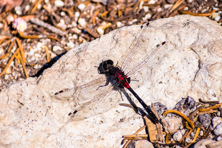View from above of a Crimson-ringed Whiteface (Leucorrhinia glacialis) dragonfly sitting on a rock, Lassen Volcanic National Park, California