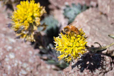 Honey bee pollinating the Mt. Lassen draba (Draba aureola) wildflowers, which bloom among rocks on the high elevation trails of Lassen Volcanic National Park, northern California Stock Photo