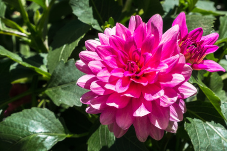 Close up of pink Pinnate Dahlia (Dahlia Pinnata) flower; green leaves visible in the background Banco de Imagens