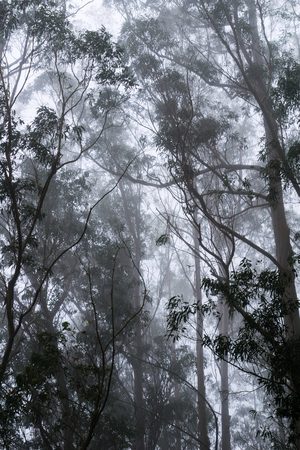 Foggy eucalyptus forest, San Pedro Valley County Park, California