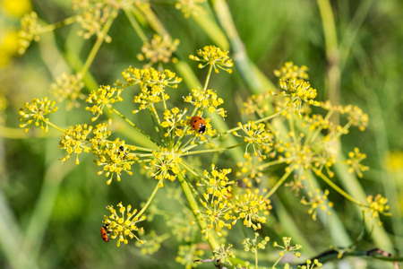 Ladybug on fennel flower (Foeniculum vulgare), California