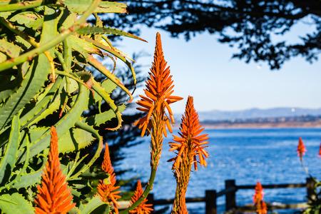 Aloe flowers on the Pacific Ocean shoreline, Pacific Grove, Monterey bay area, California