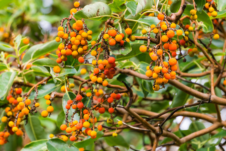 Detail of the fruits of the Madrone tree fruits, California Stock Photo