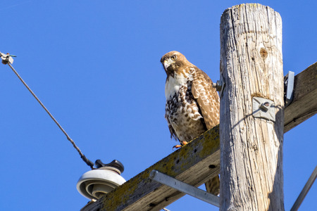 Juvenile Red-tailed Hawk (Buteo jamaicensis) perched on wooden power pole, San Francisco bay, California Banque d'images - 117857907