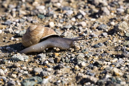 Black snail crossing a gravel path, California