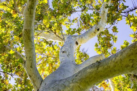 Western Sycomore Tree (Platanus racemosa) vu du dessous, Californie Banque d'images