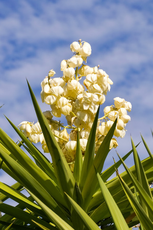 Yucca madrensis flower, California
