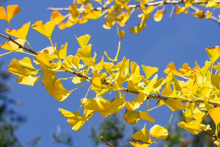 Fall ginkgo tree golden yellow leaves on a blue sky background, California Archivio Fotografico
