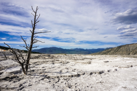 Dead trees on the travertine terrace of Mammoth Hot Springs, Yellowstone National Park