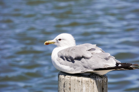 Ring billed seagull (Larus delawarensis) in the Baylands Park, Palo Alto, California
