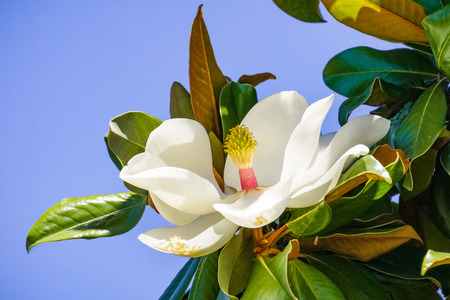 Scented magnolia tree flower, California