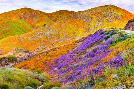 Landschaft im Walker Canyon während der Superblüte, kalifornischer Mohn, der die Bergtäler und Bergkämme bedeckt, Lake Elsinore, Südkalifornien