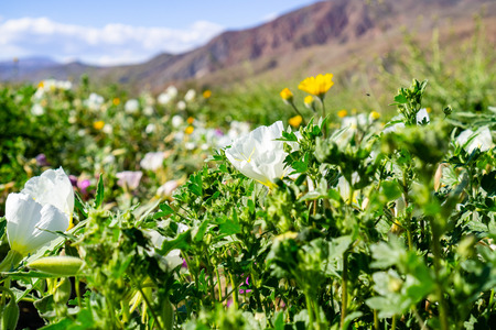 Dune evening primrose (Oenothera deltoides) wildflowers blooming in Anza Borrego Desert State Park during a super bloom, south California Stock Photo