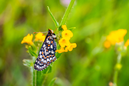 Close up of Bay Checkerspot butterfly (Euphydryas editha bayensis) ; classified as a federally threatened species, south San Francisco Bay area, San Jose, California