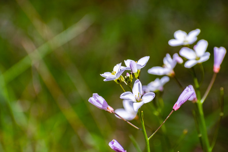 Milkmaid (Cardamine californica) wildflowers blooming in winter in a forest, San Francisco bay area, California