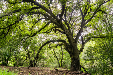 Large coast live oak tree providing shade, San Jose, south San Francisco bay area, California Stock fotó
