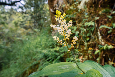 Feathery false lily of the valley (Maianthemum racemosum) blooming in a forest in San Francisco bay area, California