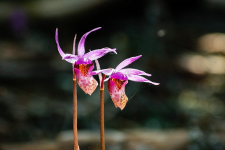 Wild Calypso Orchids, known as Fairyslipper Orchids, blooming in the forests of Marin County, north San Francisco bay area, California