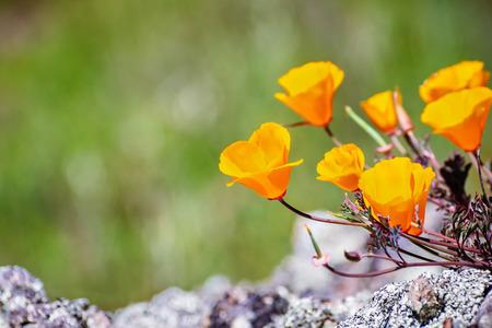 California Poppies (Eschscholzia californica) growing on a meadow, Fremont, south San Francisco bay, San Jose, California Banco de Imagens