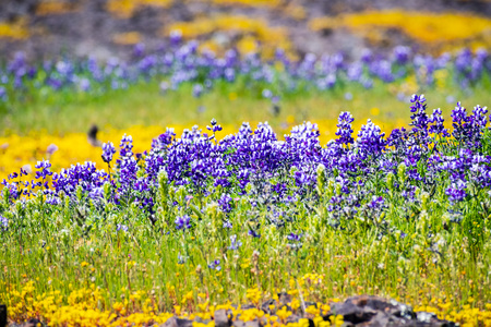 Meadow covered in Sky Lupine (Lupinus nanus) and other wildflowers, North Table Ecological Reserve, Oroville, California