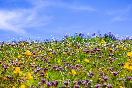 Colorful wildflowers covering a meadow on a sunny day with blue sky; North Table Ecological Reserve, Oroville, California