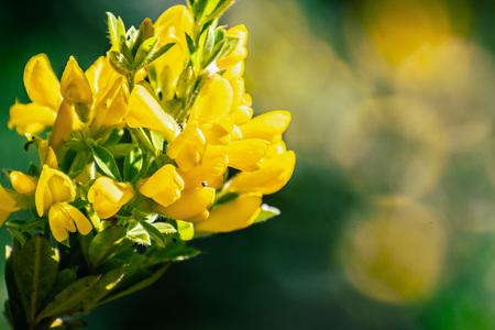 Scotch Broom; English Broom; Common Broom (Cytisus scoparius, Sarothamnus scoparius) in bloom, California 写真素材